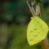 木陰のキチョウ