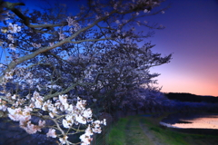 ブルーアワーの千本桜