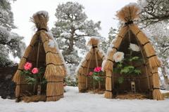 冬咲き牡丹