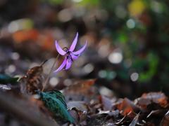 カタクリの花2