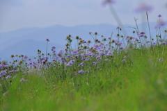高原の山野草3