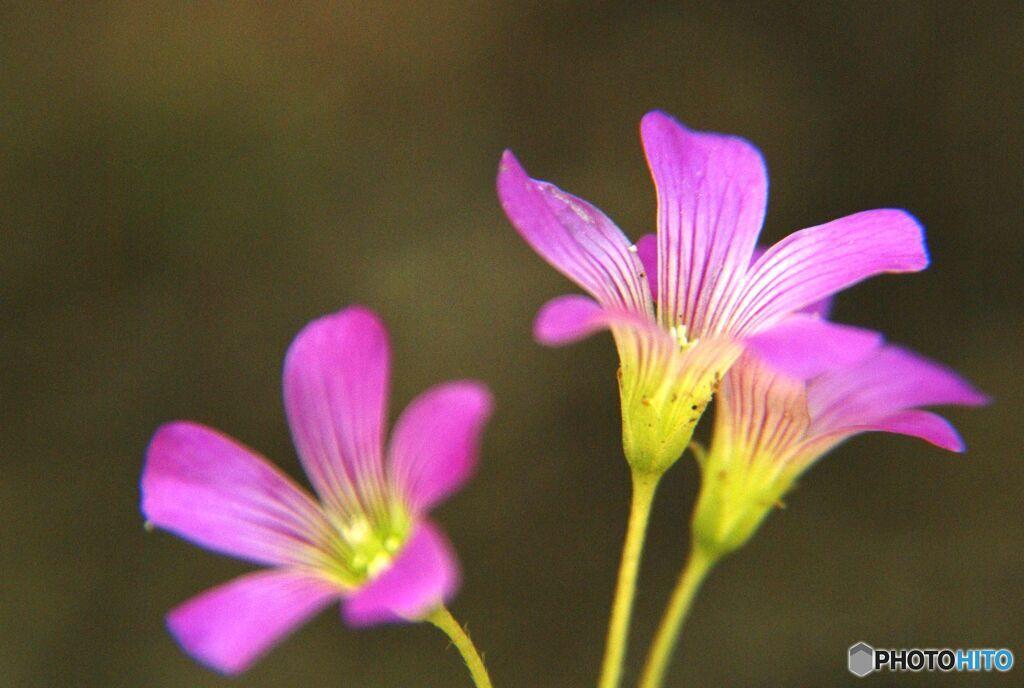 カタバミ 庭に咲く