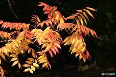 秋 楡の紅葉