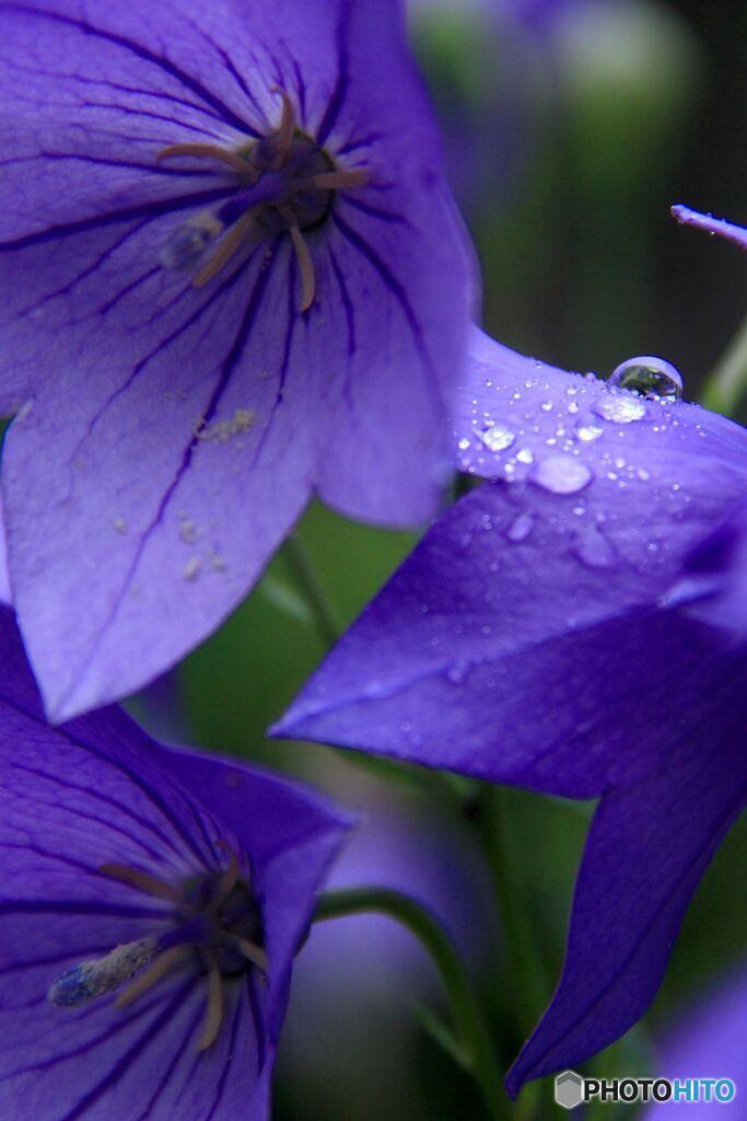 桔梗 雨に濡れて