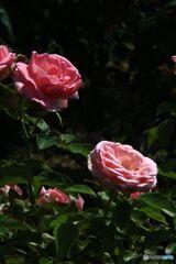 バラ公園シリーズ  ばら  香澄