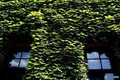 夏の終わりが見えるとき  アイビーと窓