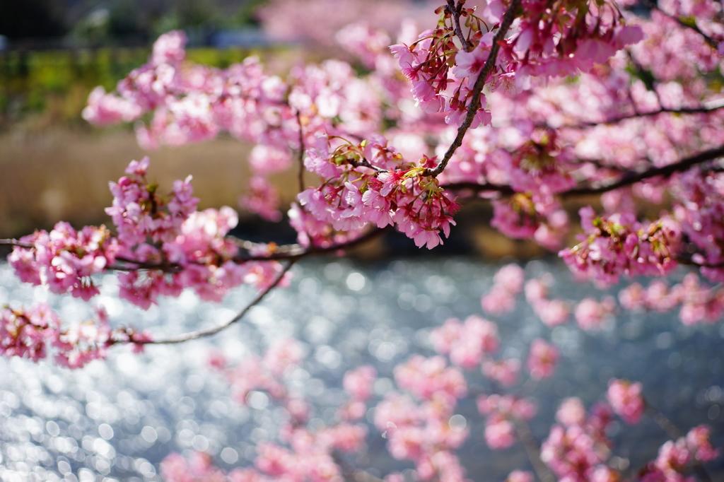 河津桜まつり 2016 2/21 DSC06002