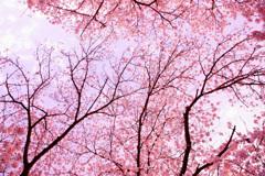 満開のピンクに包まれて…②