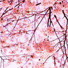 満開のピンクに包まれて…④