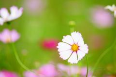 お願い揺れないで~秋桜~ DSC00895
