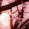 満開のピンクに包まれて…③