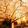 満開の夕桜を見上げて