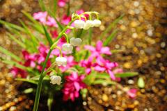 可憐なスズラン咲いてよかったね…華やかな芝桜との共演 ①
