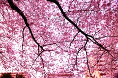 満開のピンクに包まれて…