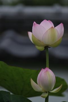 花 その144