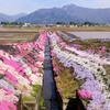 大野の芝桜