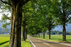 夕暮れのメタセコイア並木