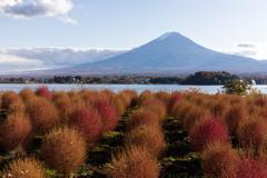 コキアと富士山