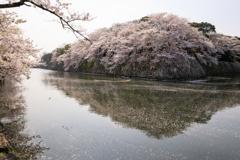 散り始めたこぼれ桜が作る風景