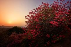 三つ葉ツツジ咲く丘