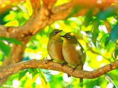 庭へ住み着く仲良い夫婦メジロ