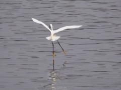 サギー「白鳥の湖」