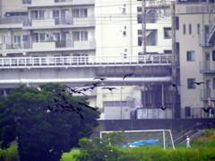 鵜鷺追いし多摩川 #6 再発見