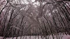 厳冬の美人林