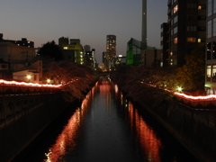 咲かぬなら夜まで待とう目黒川