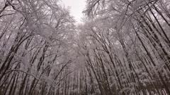 白銀の美人林