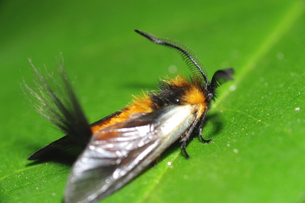 綺麗な蛾 ミノウスバ 1.39倍