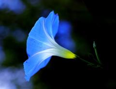 Blue lamp flower