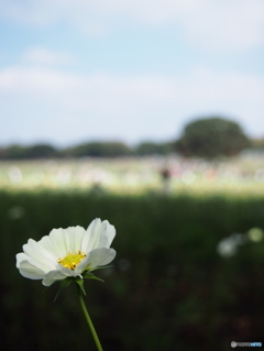イエローキャンパス(秋桜)