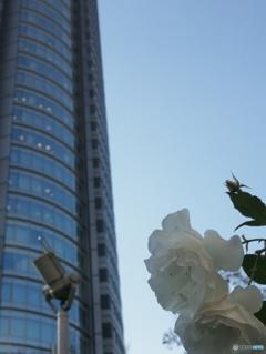 森タワーと白バラ〜六本木ヒルズ2015