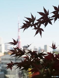 紅葉と東京タワー