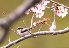 桜とエナガ3
