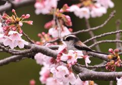 桜とエナガ5