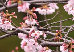 桜とエナガ4