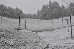 雪降る茶畑