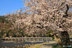嵐山 桜満開