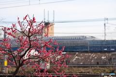 梅の花と新幹線