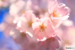 青空の下桜の花クローズアップ②