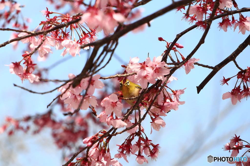 桜にメジロ #2