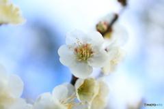 青空に白い梅の花