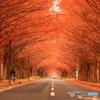 真っ赤なメタセコイア並木
