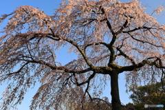 しだれ桜 咲き始めました