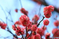 梅の花に雪化粧