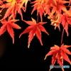 暗闇に浮かぶ紅葉