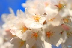 青空の下桜の花クローズアップ①