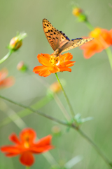 キバナコスモスとオレンジ蝶々